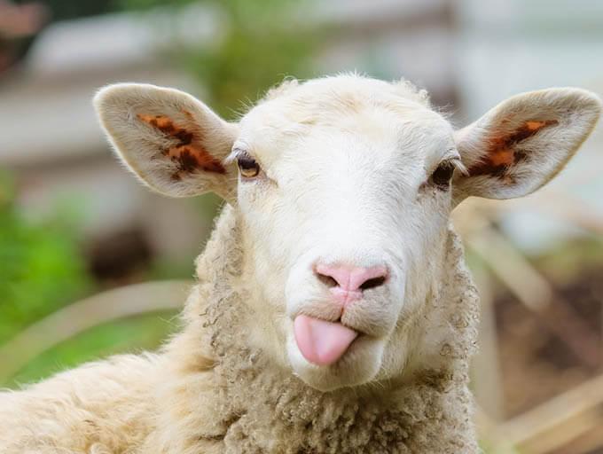 Schaf, das die Zunge rausstreckt